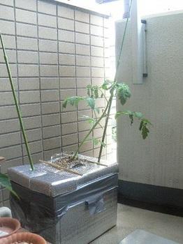 トロ箱トマト_1