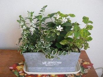 緑の寄せ植え