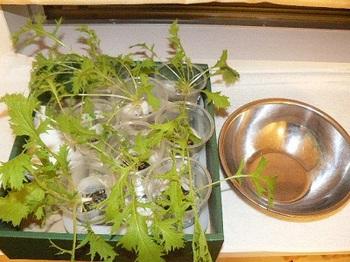サラダ水菜_20120824