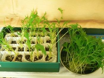 サラダ水菜_収穫20121118