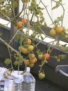 カンパリトマト_20121212