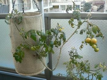 逆さトマト_20121212