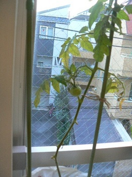 カンパリトマト_室内20121212
