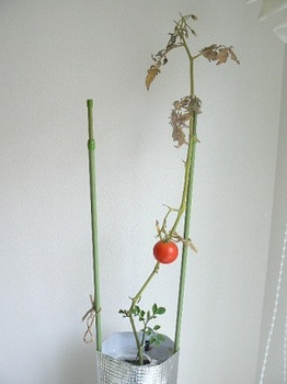 越冬トマト20130301