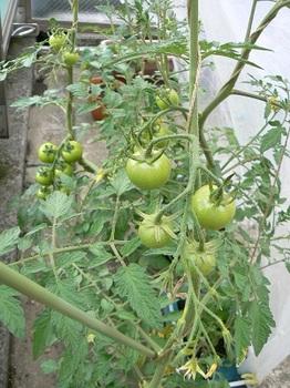 ゴミ箱トマト_20130615