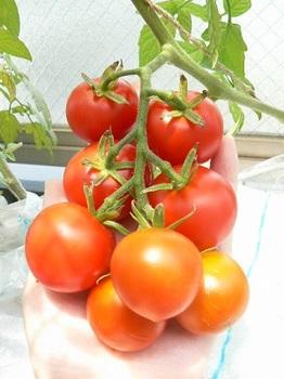 房取りトマト_20130704