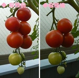 カンパリトマト_収穫_ゴミ箱栽培_20130712