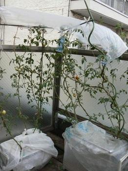20130805_トロ箱トマト