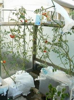 20130818_トロ箱トマト