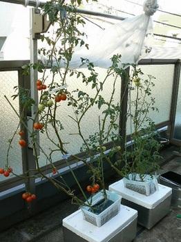 20130818_ゴミ箱トマト改めトロ箱トマト
