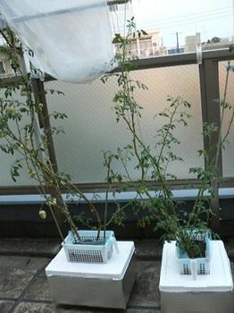 20130805_ゴミ箱トマトをトロ箱トマトへ