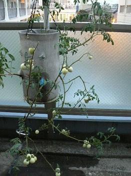 20130805_逆さトマト
