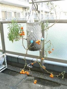 20130818_逆さトマト